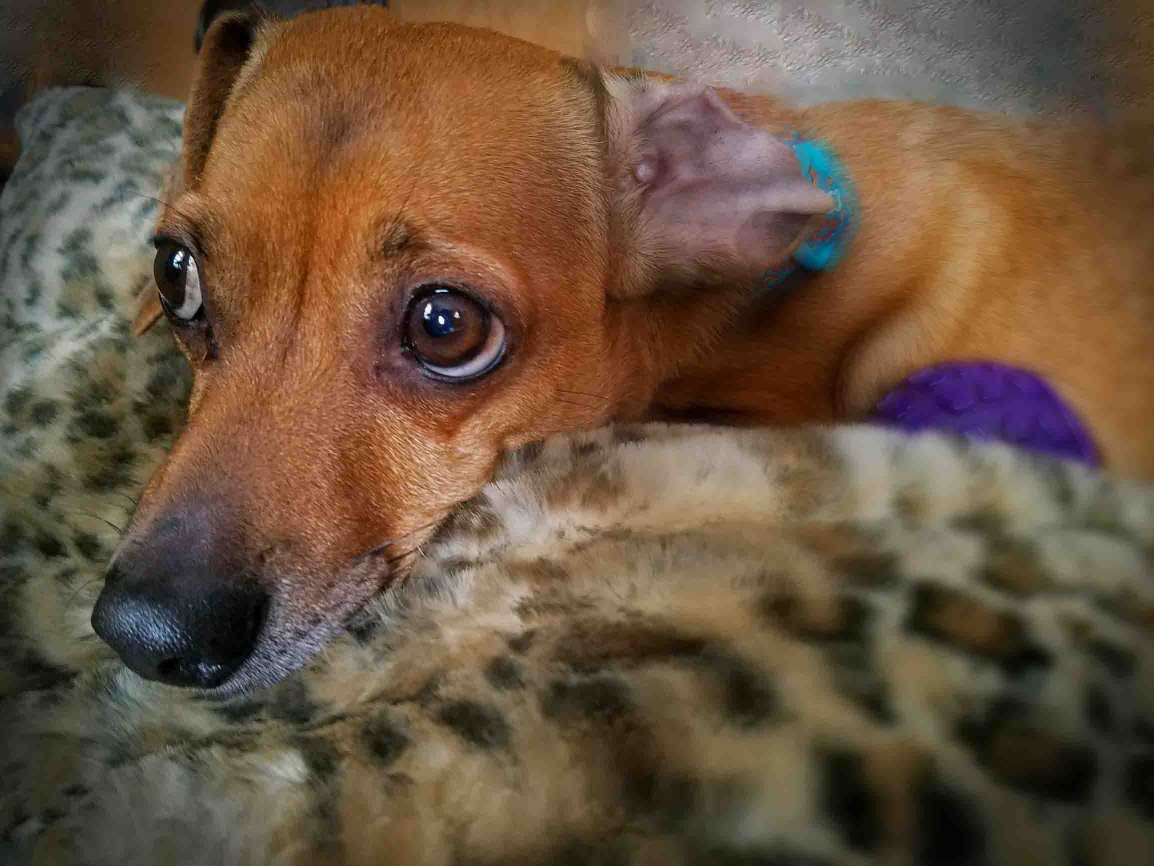 My baby doxie a year after surgery. From his good side. Photo: (c) Barb Ayers, DogDairy.org