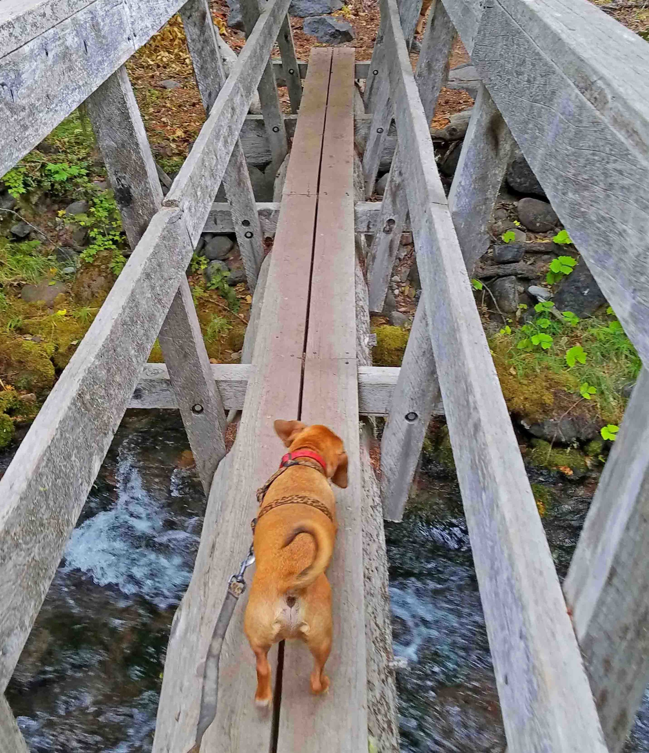 My brave little doxie walks the plank of life…. Photo: (c) Barb Ayers, DogDiary.org