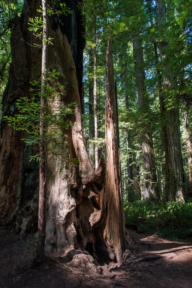 Redwoods-124.jpg