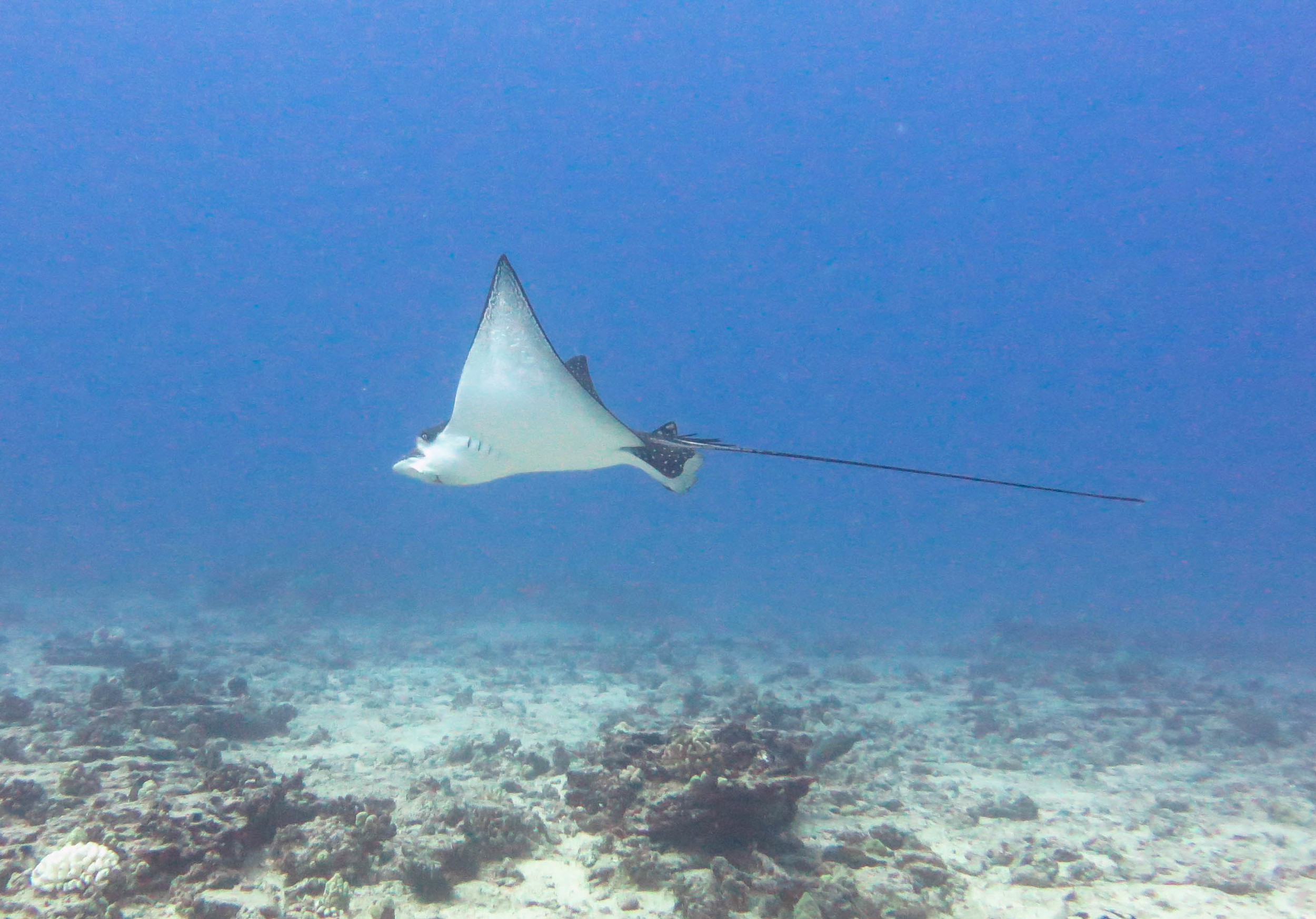 The elusive Spotted Eagle Ray!