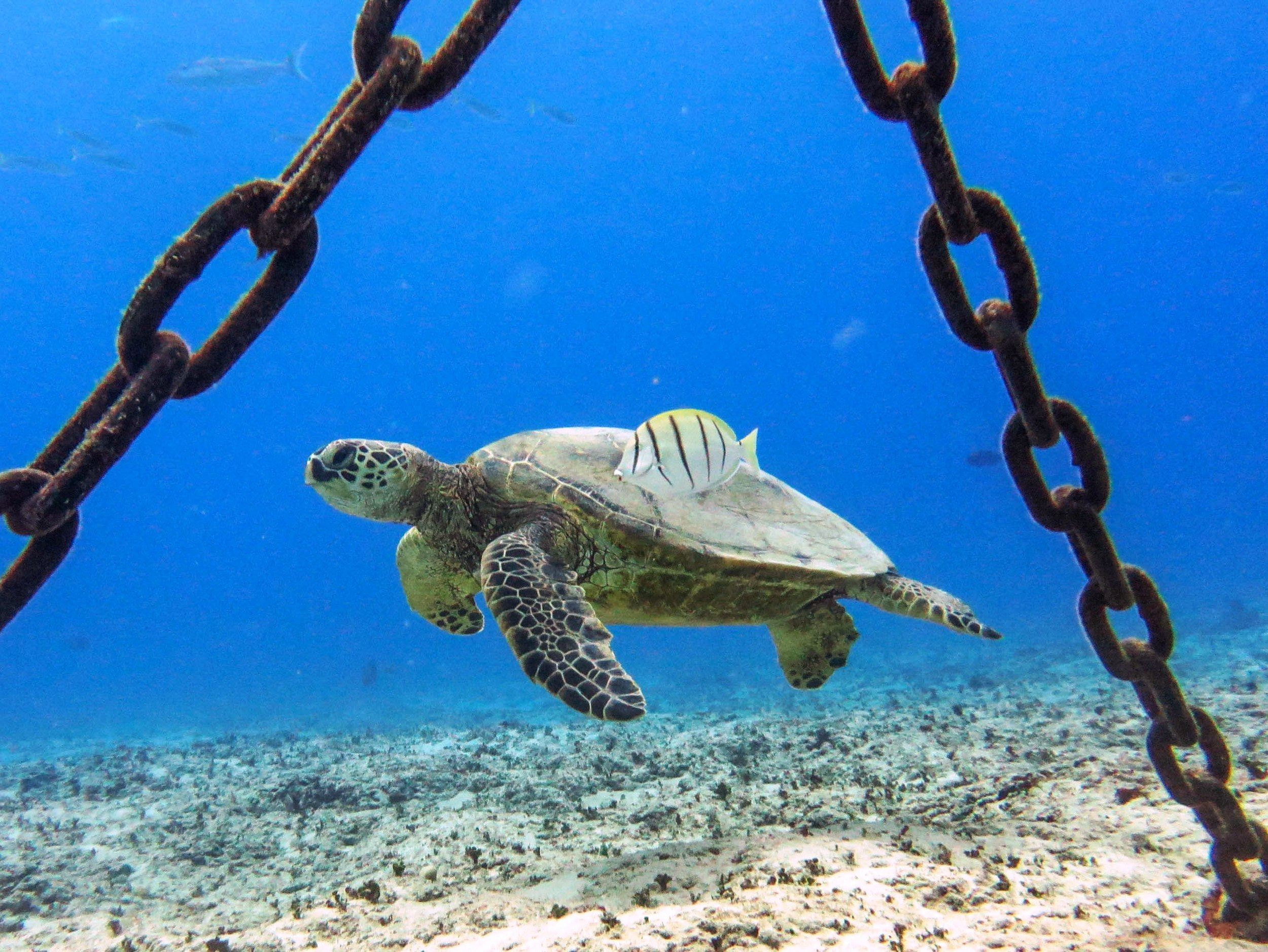 oahu scuba diving turtle