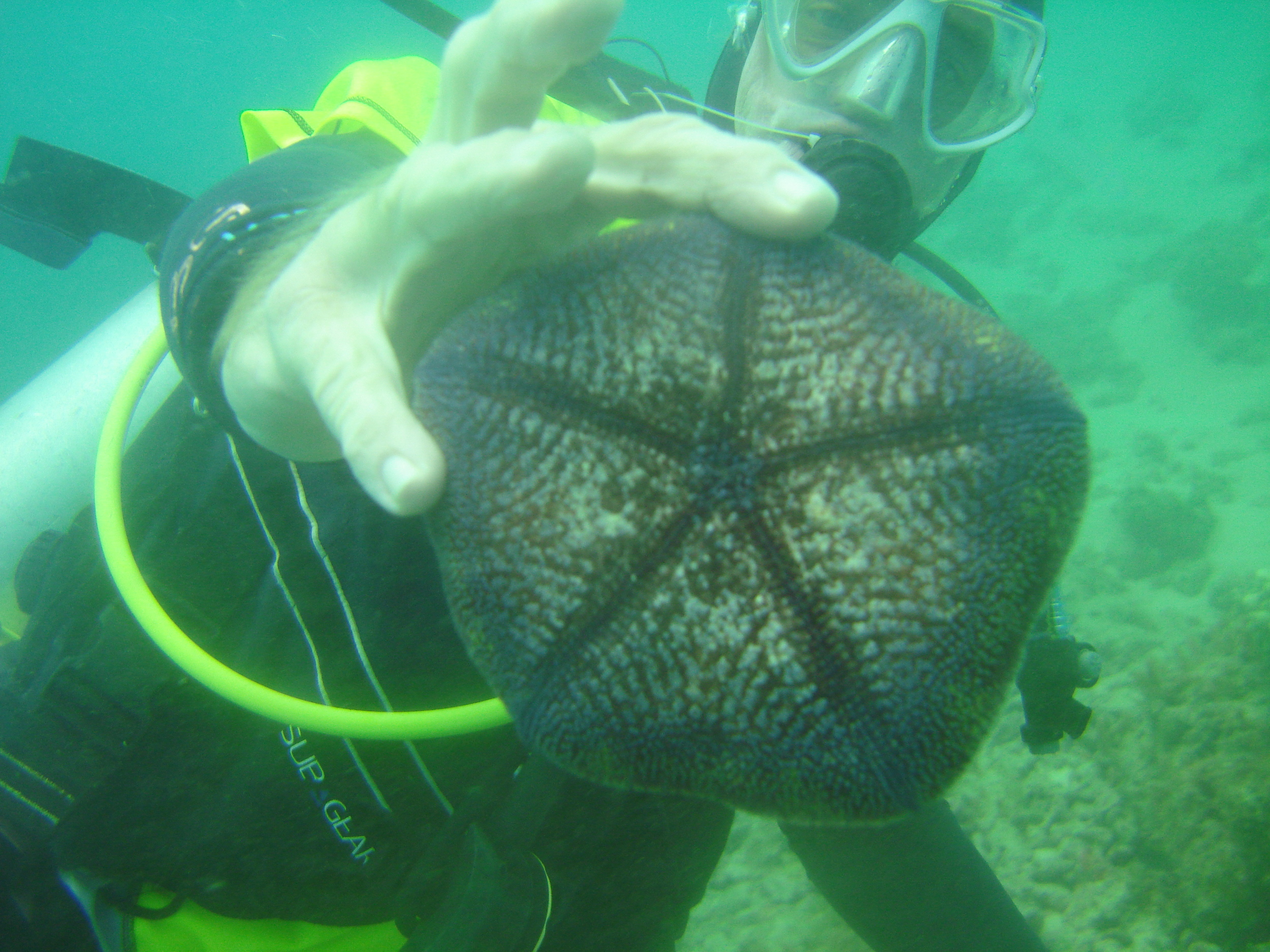 Jessica found a pincushion seastar