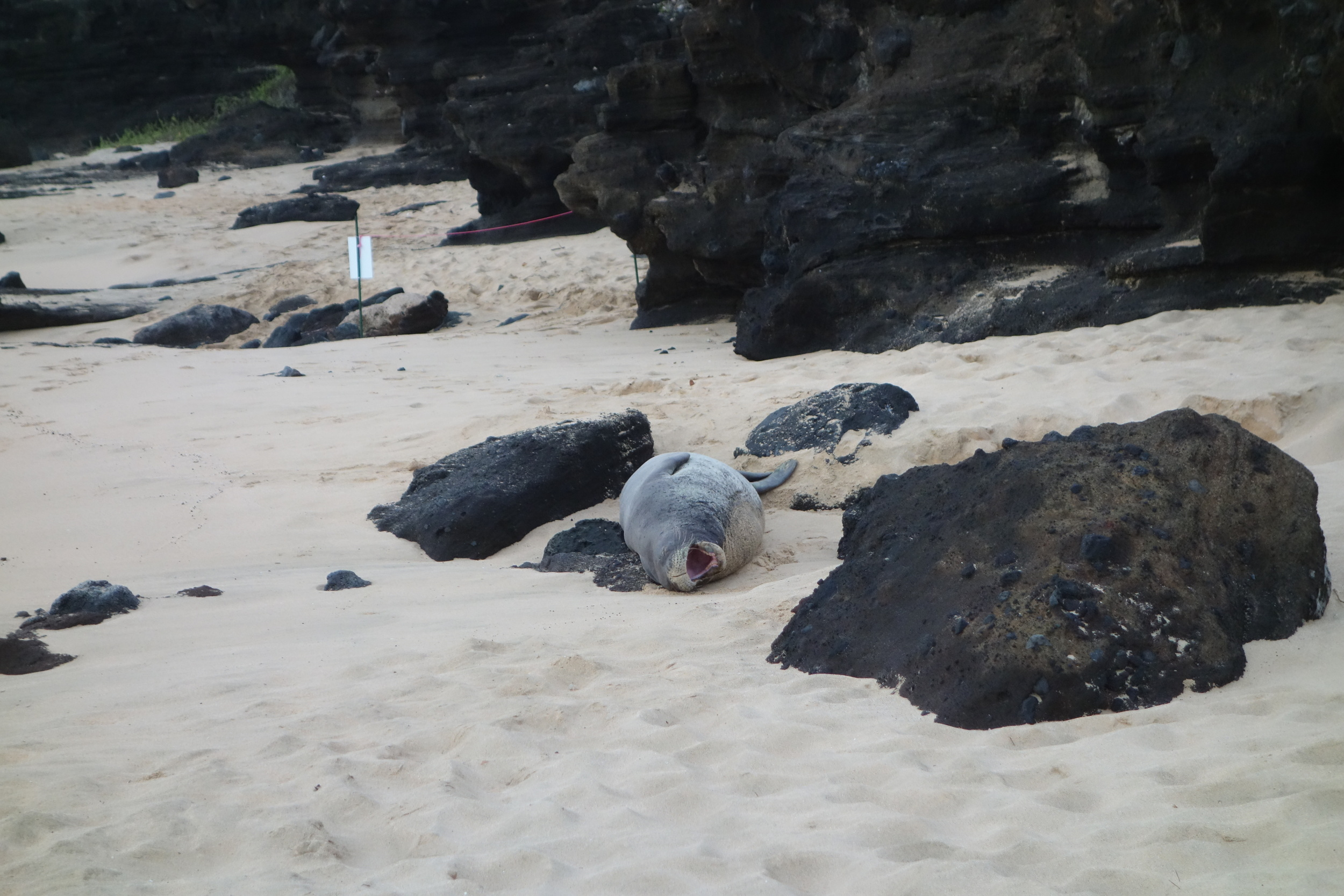 The highly endangered Hawaiian Monk Seal using a lava rock as its pillow. Sooo cool these guys!!