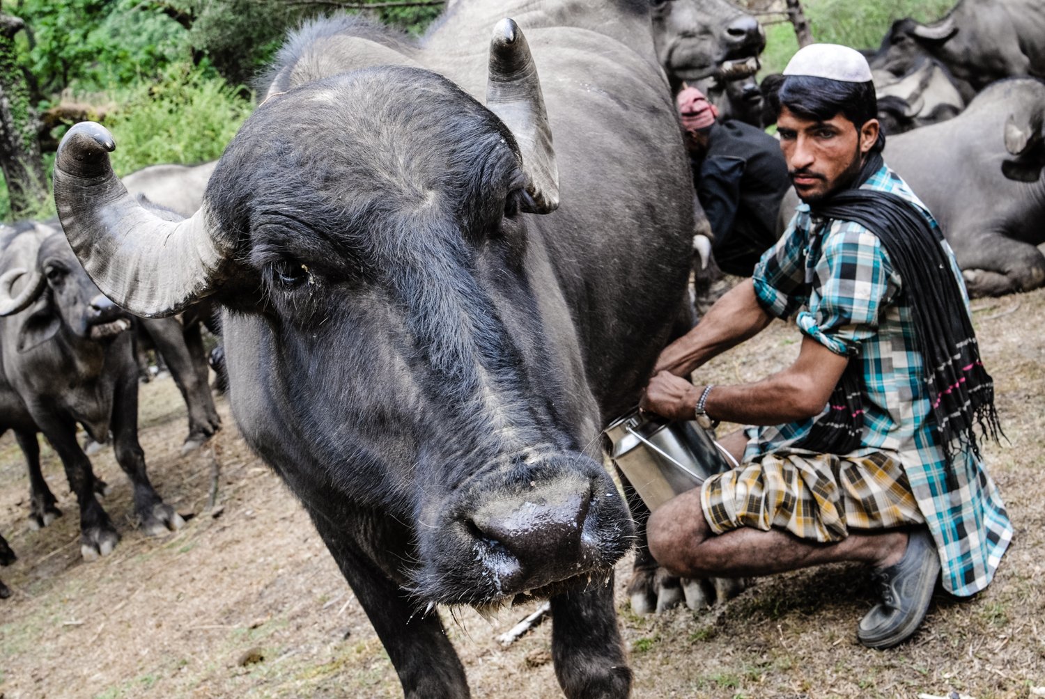 """Traditionally, all Van Gujjars are buffalo herders, men and women alike. Buffalo milk is their main source of income - and protein. Thus, keeping their herd well-fed and healthy is every family's top priority. """"If our buffaloes die, we die,"""" is a common Van Gujjar saying."""
