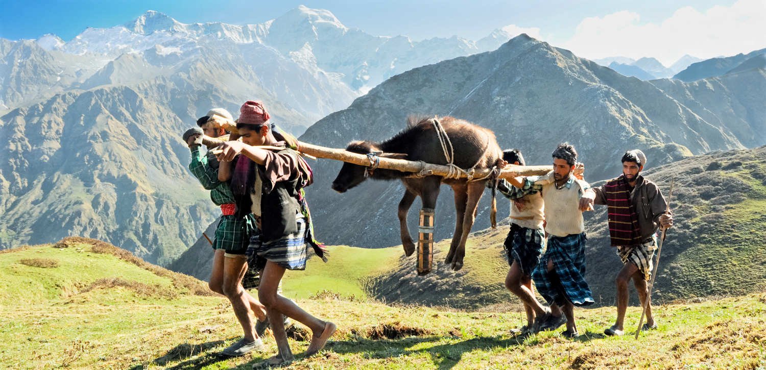Though they still had to climb 2500 feet up a steep Himalayan pass, the family would not leave their injured buffalo behind. The broken leg was splinted and the animal was carried over the pass,to the meadow where they would spent the summer. They hoped the leg would heal before they had to descend from the mountains in the fall. For the past few years, the family has been able to return to its ancestral meadows,but still has deep insecurities about what the future holds. Their best hope is India's Forest Rights Act - which  should  protect their access to their traditional lands.