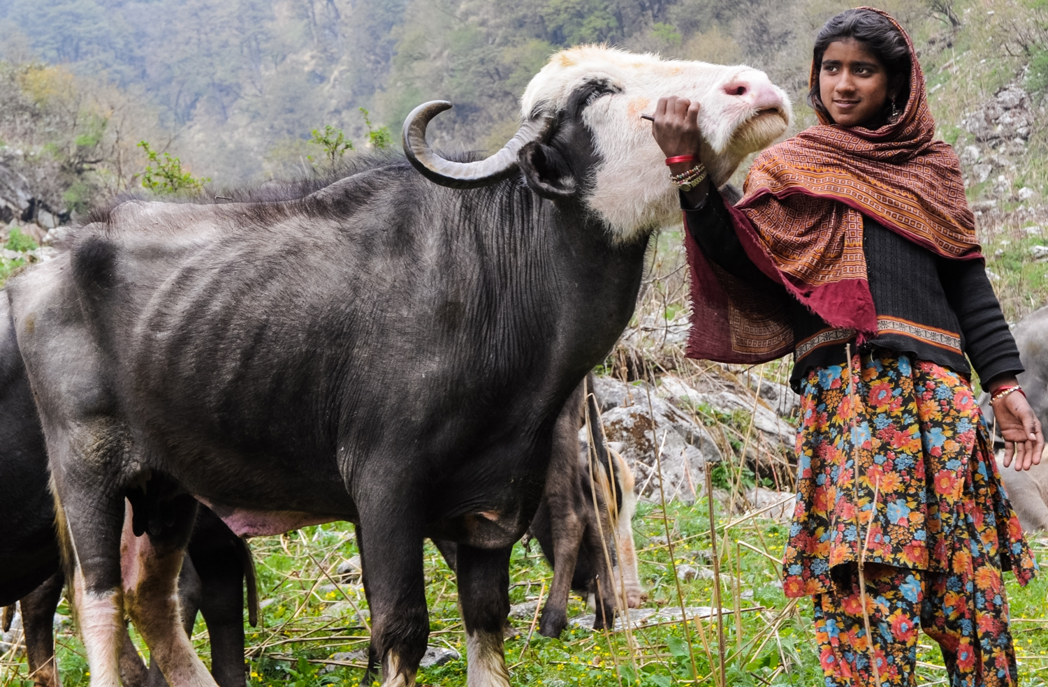 But Van Gujjars do not just see their buffaloes as economic resources. They have deep emotional bonds with them: they think of them as family members;they name them and mourn for them when they die and would never dream of using them or selling them for meat. In fact, while Muslim, Van Gujjars are also traditionally vegetarian.