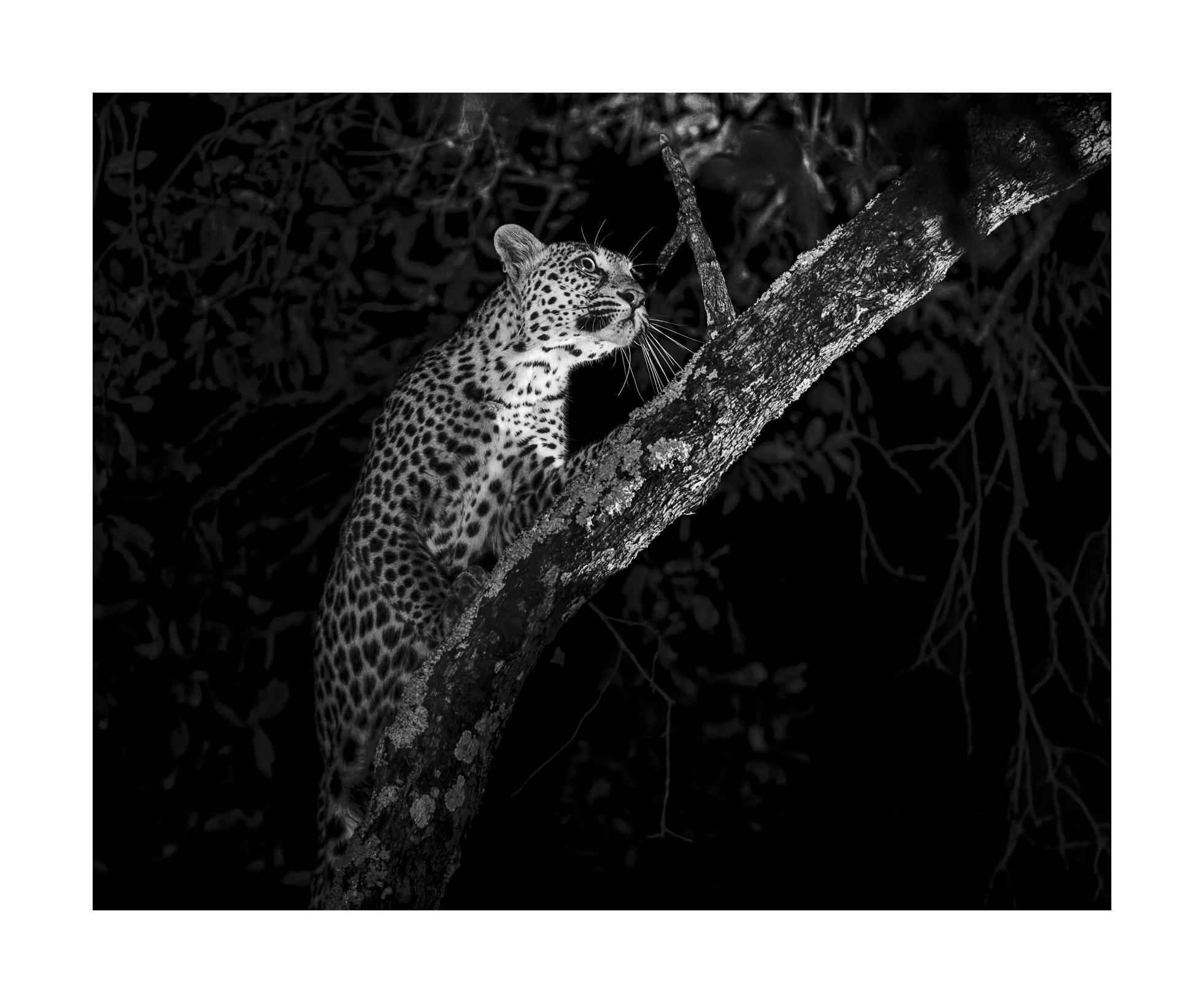 Leopard  (Panthera pardus)  - South Luangwa National Park, Zambia  A truly spectacular encounter with a young leopard ascending and stalking guinea fowl resting at the top of the tree. She was composed, silent and purposeful, much in contrast to myself watching from below where I was full of anticipation and excitement. I observed from initial moments on the ground till she reached the highest branches where I lost sight of her. There was a long pause and I heard her pounce. The guinea fowl panicked and scattered! But alas when she came down, she was empty handed, she would have to go hungry for a little longer.