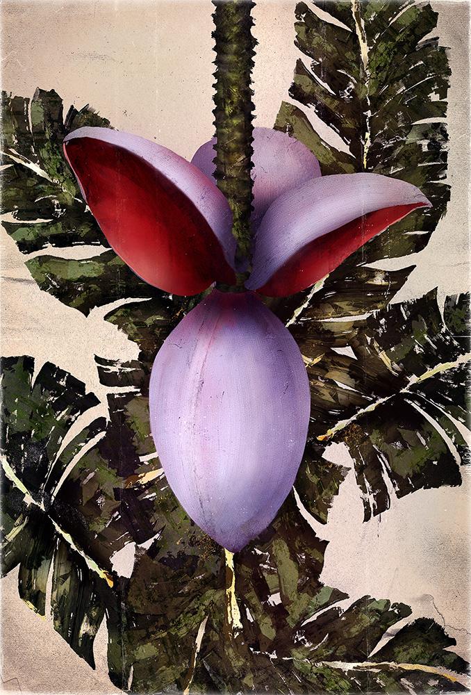 Plants_Musa balbisiana_Illustration_Julie Smits.jpg