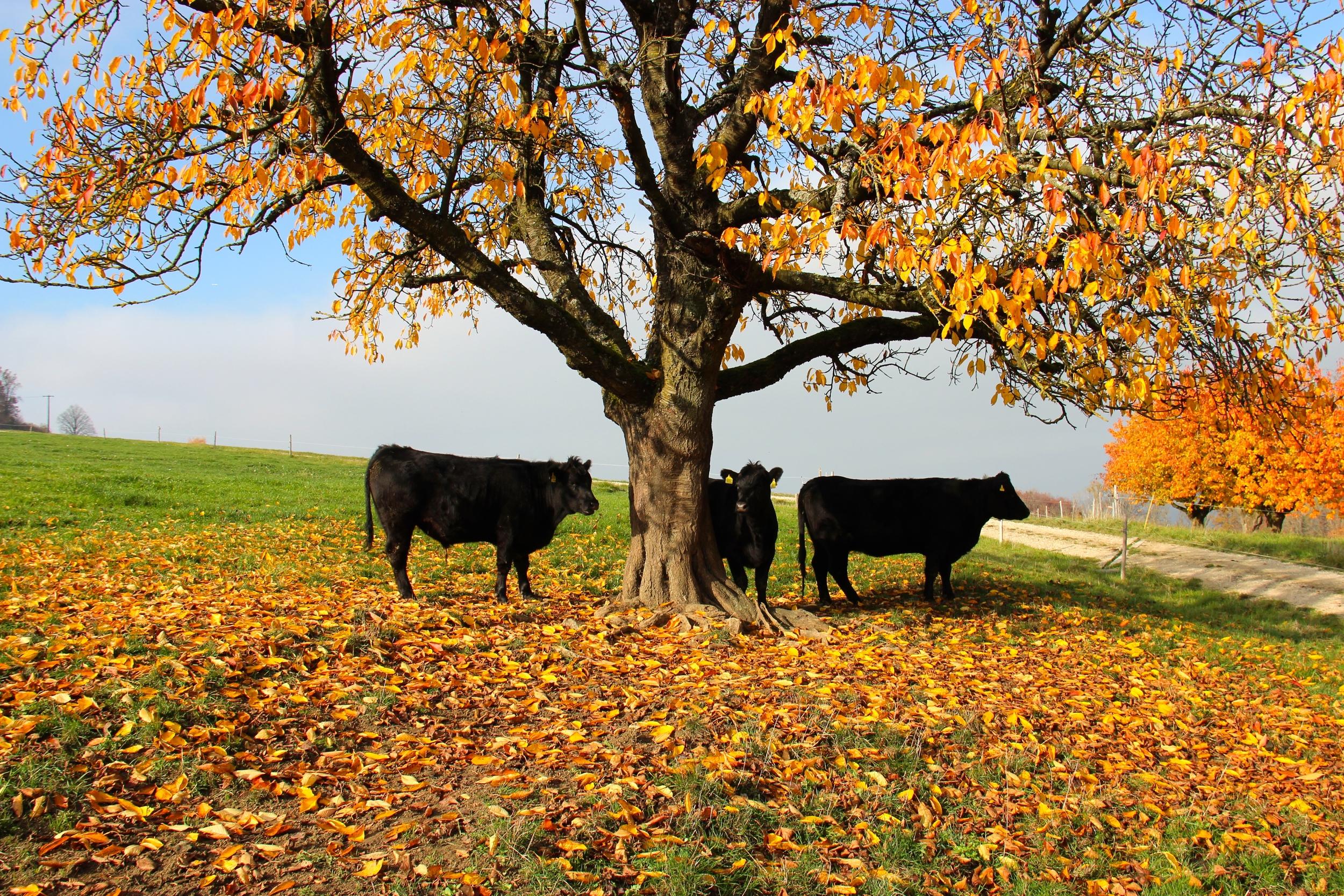 Weide Angus Beef