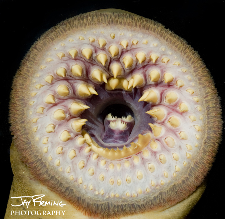 Sea Lamprey mouth. Susquehanna River