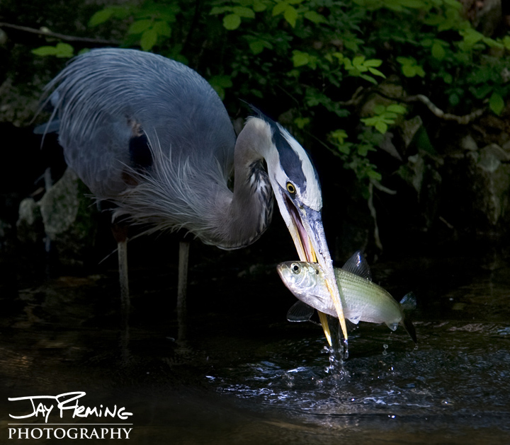 Great Blue Herons fish along the banks of the Susquehanna River during the spawning runs of anadromous fish