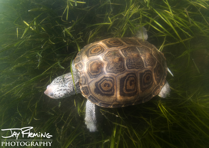 Diamondback Terrapin in Eel Grass. Smith Island, Maryland