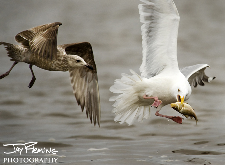 Herring Gulls fight over a White Perch. Chester River