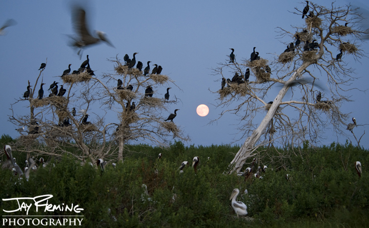 The super moon rises behind a Chesapeake Bay rookery. Tangier Sound, Maryland.