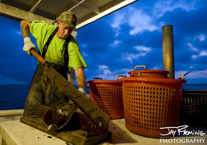 Preparing bait (Horseshoe Crab) for eel pots