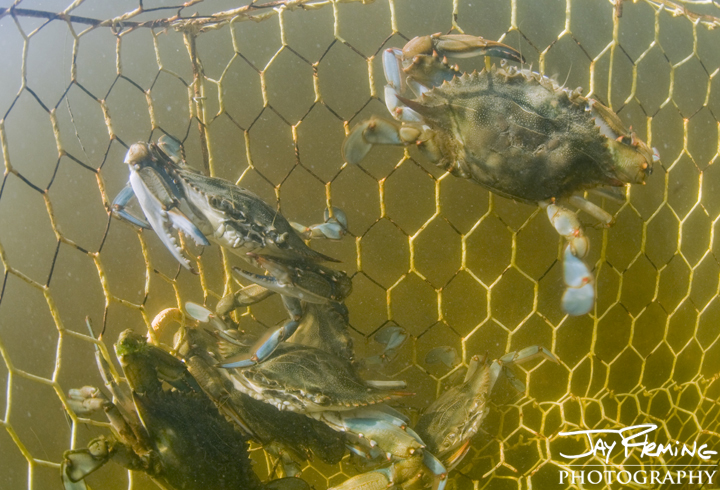 Crab pot at the mouth of the Honga River full of fall crabs. October 2014