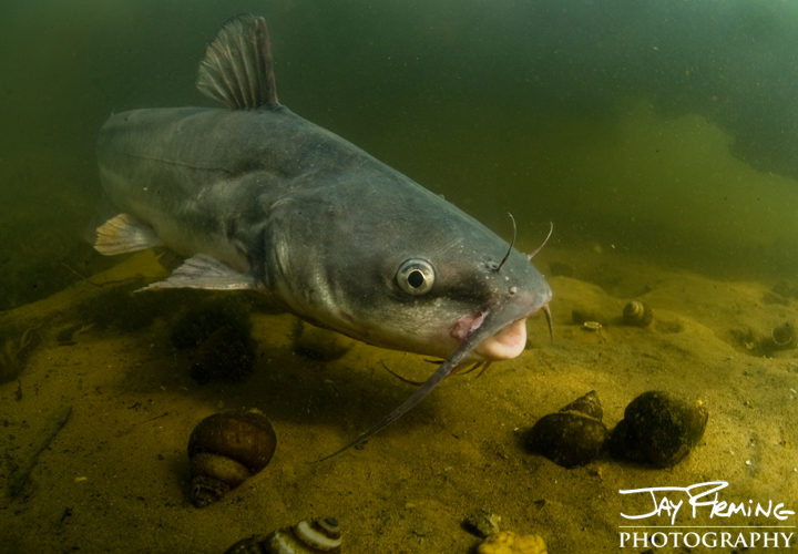 Blue Catfish, Potomac River. September 2014