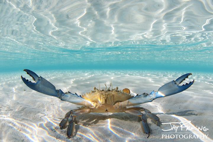 Bahamian Blue Crab. Brigantine Cays
