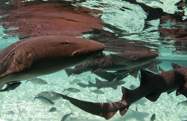 Nurse Sharks. Compass Cay