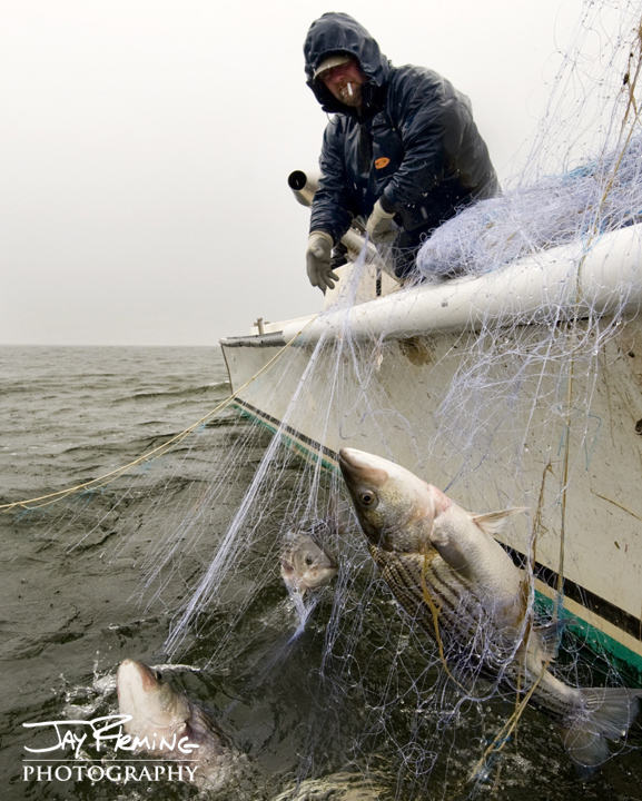 Gill Netting for Striped Bass. Kent Island, Maryland