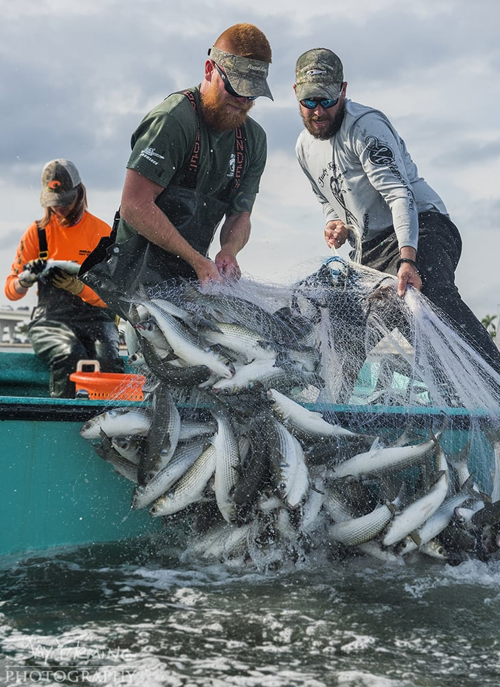 Florida commercial fisherman target spawning Striped Mullet during the winter.