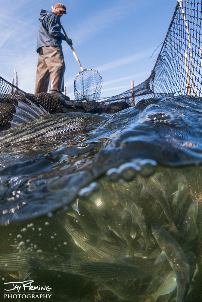 Waterman Joshua Hubbard fishing a pound net off Hoopers Island.