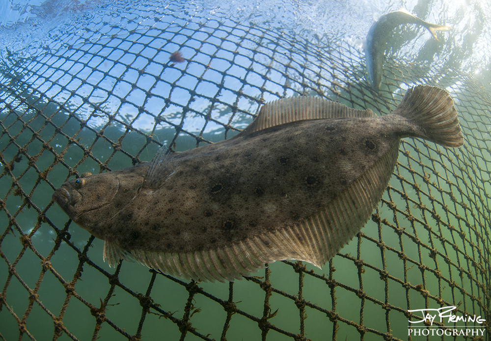 Summer Flounder migrated out of the Chesapeake Bay in late October and early November