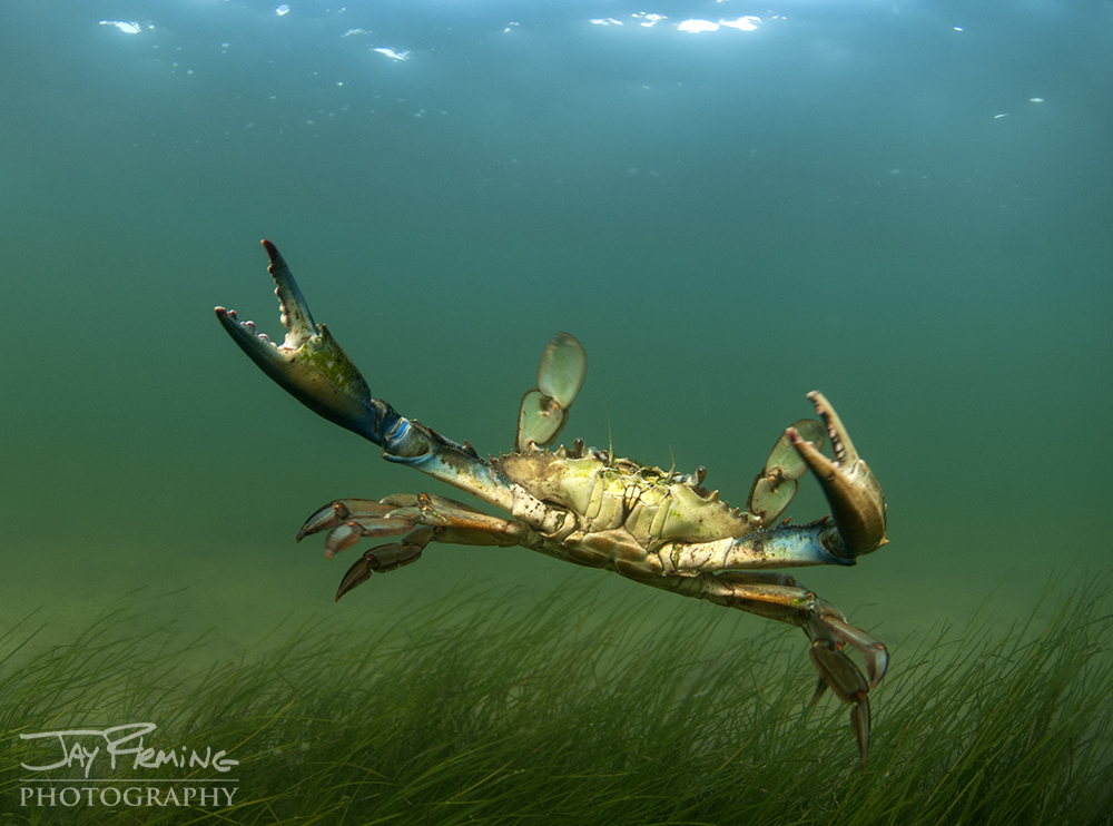 Blue Crab in a Eel Grass bed off Bloodsworth Island, Maryland
