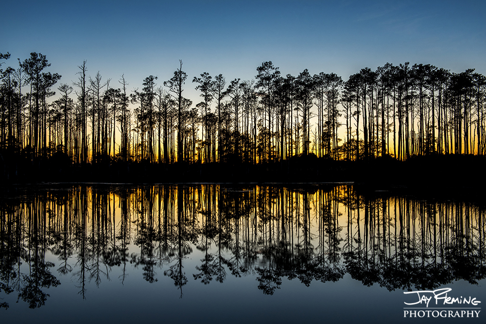 Loblolly Pines reflected in a Blackwater National Wildlife Refuge tidal pond off Andrews Road