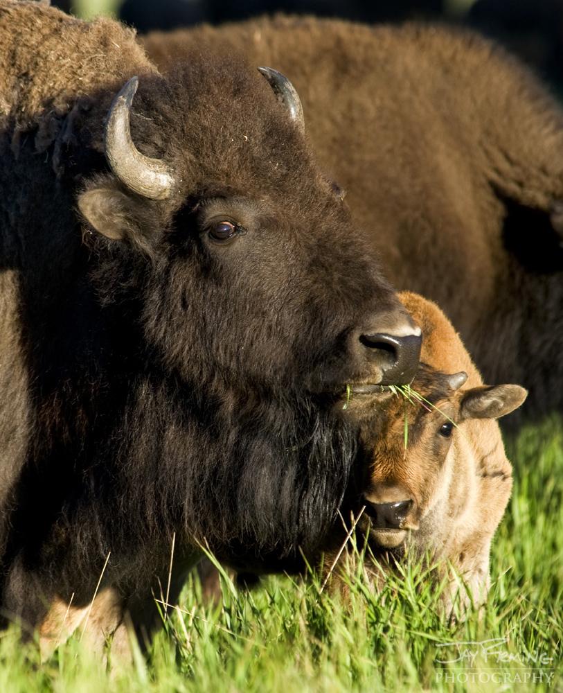Yellowstone Portfolio © Jay Fleming 03.jpg
