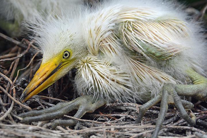 Great Egrets 20160522  (75) Select.jpg