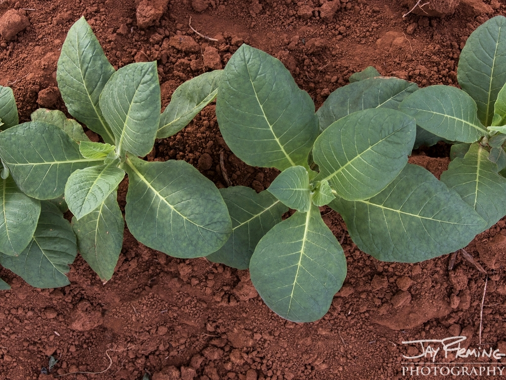 Tobacco plants growing in the iron rich soil of the Vinales valley, just outside of Puerto Esperanza