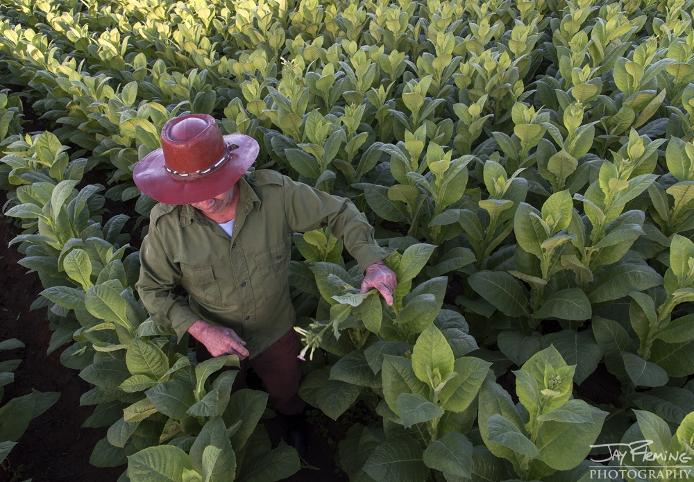David Torres picks off new growth on 50 day old tobacco plants to encourage growth on the larger leaves. Puerto Esperanza