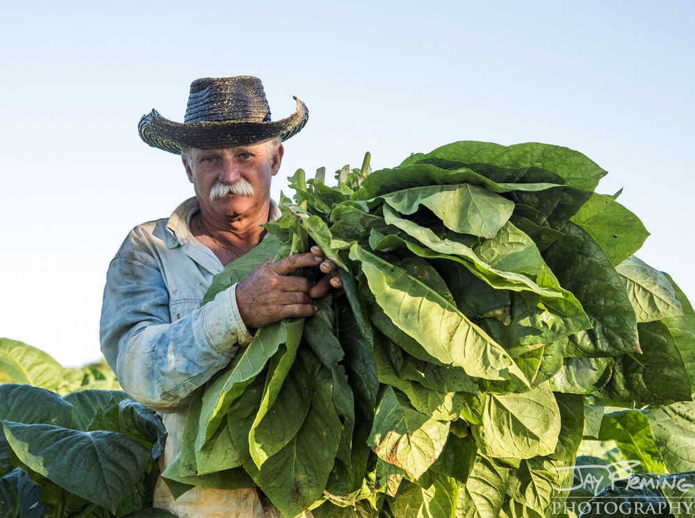 Diego Barrio carrying tobacco leaves immediately after cutting. These leaves are hung on racks in the field and then transferred to a barn where they go through the drying process.