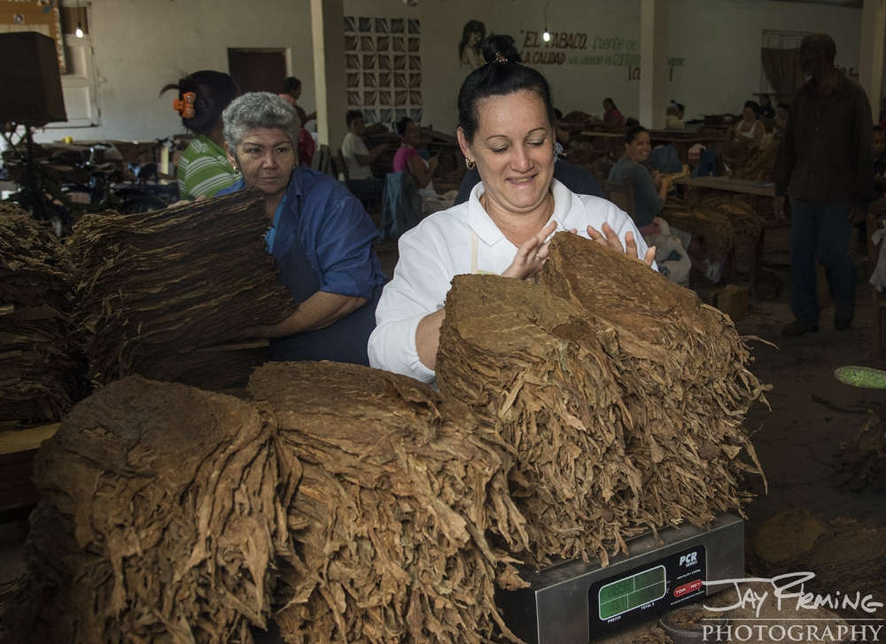 Tobacco leaves are sorted based upon quality and the large veins are removed at the picking room. After being weighed, this tobacco is sent to different cigar and cigarette factories throughout the country.