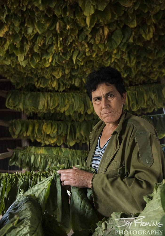 A laborer at the Gonzalez plantation stringing tobacco leaves in preparation for drying. Pinar del Rio
