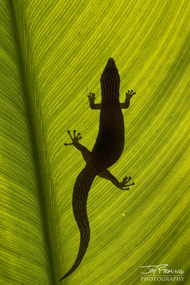 Reef Gecko silhoutte