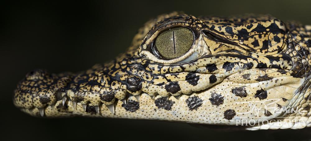 Juvenile Cuban Crocodile