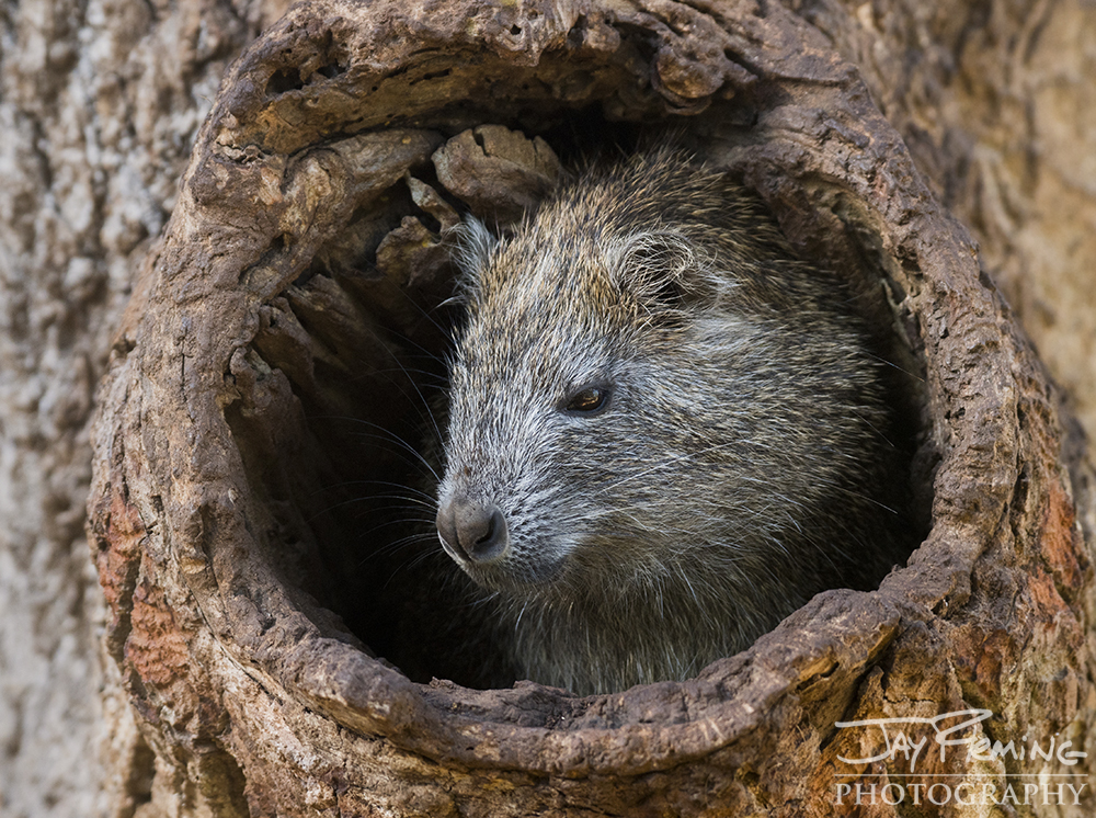Hutia is a species of rodent endemic to Cuba - they are known as 'tree rats'. These large rodents are considered a delicacy to many Cubans.