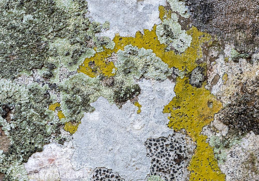 Lichens on a Royal Palm