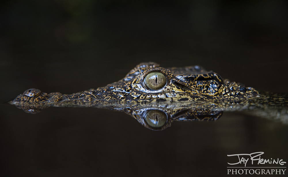 A Cuban Crocodile keeps a lookout just above the surface of the water.