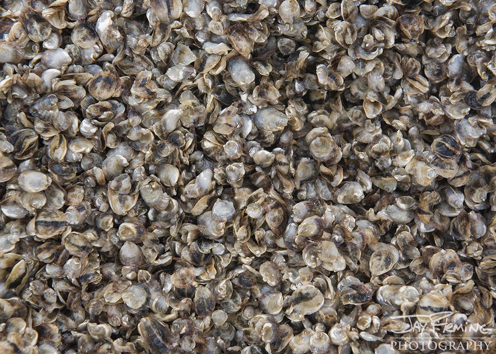 Hoopers Island Oyster © Jay Fleming06.jpg