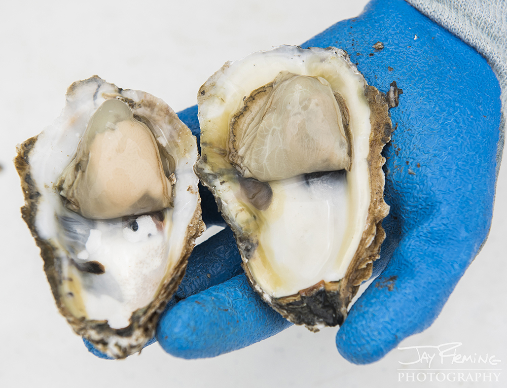 Hoopers Island Oyster © Jay Fleming10.jpg