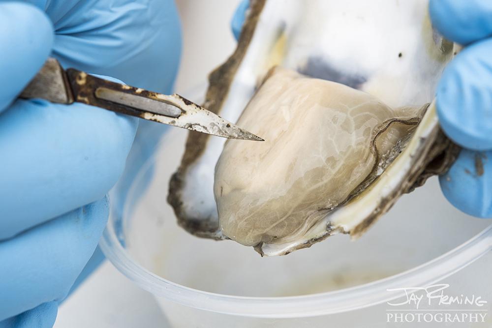 Hoopers Island Oyster © Jay Fleming11.jpg