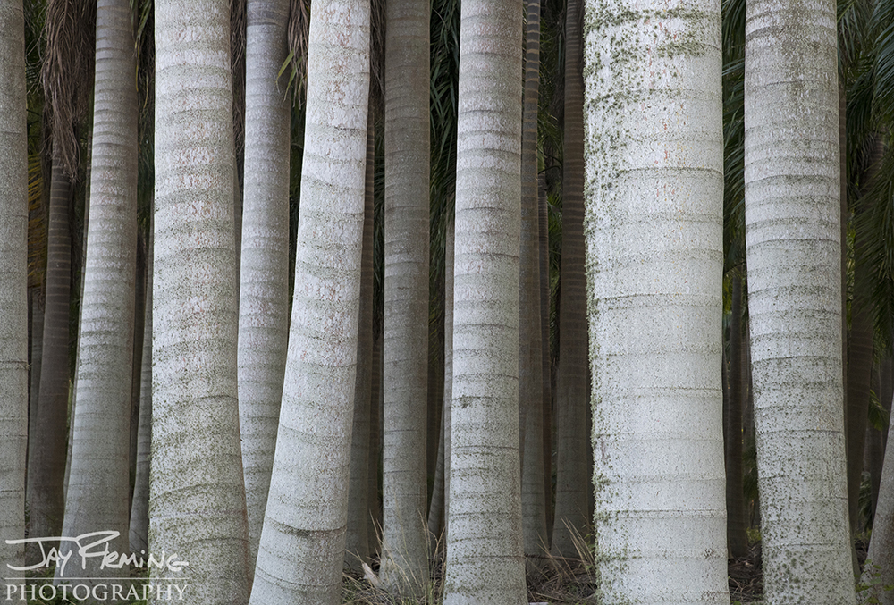 Royal Palm forest