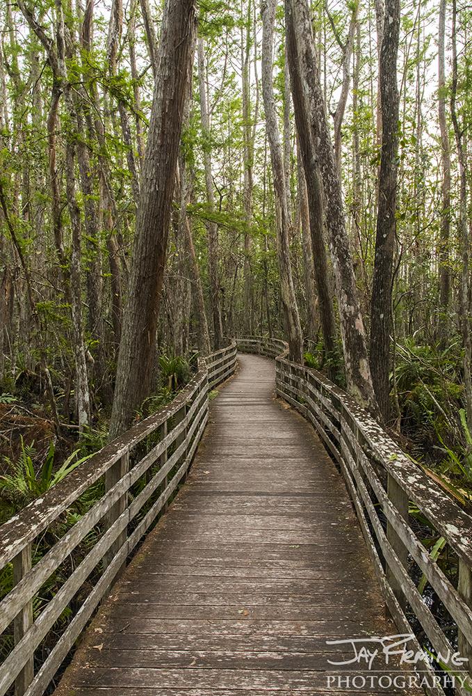 The boardwalk winding through the Audubon Society's Corkscrew Swamp Sanctuary