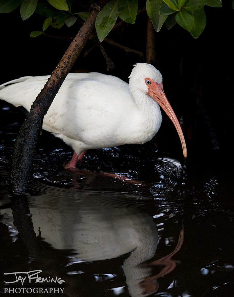 White Ibis feeding on the edge of a creek lined with Red Mangroves