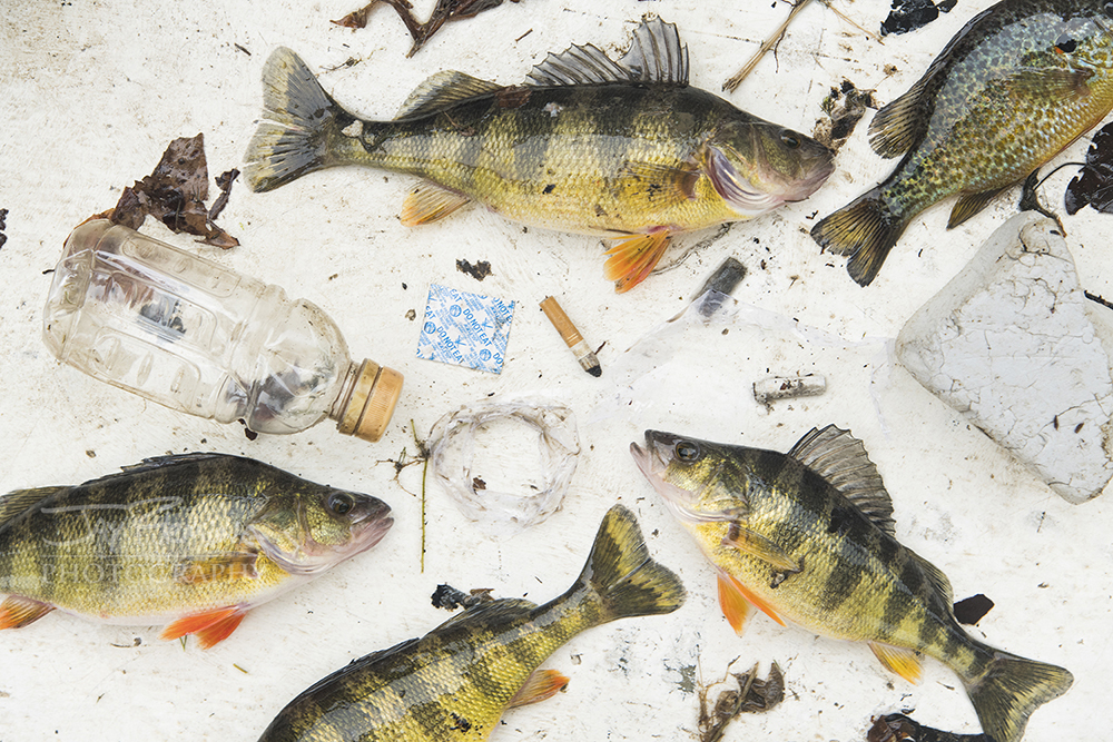 Yellow Perch, Pumpkinseed and trash collected while fishing near Perryville, Maryland.