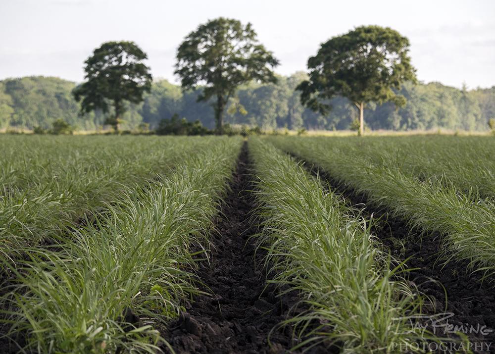 Rice Fields near Breaux Bridge, Louisiana.