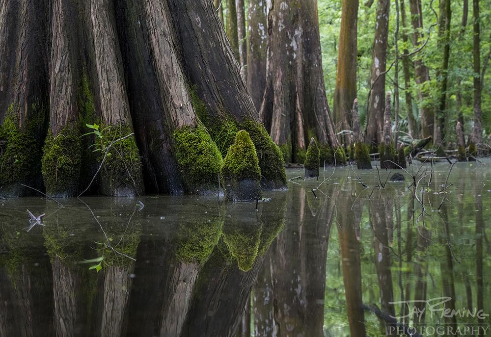 Bald Cypress trees at Lake Martin, Louisiana.